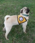 service dog pug
